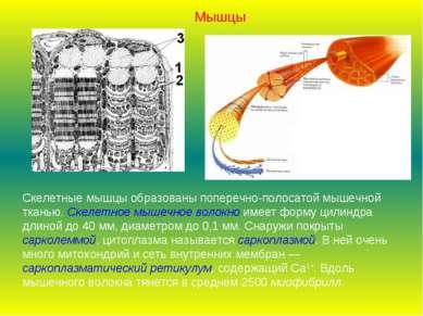 Скелетные мышцы образованы поперечно-полосатой мышечной тканью. Скелетное мыш...