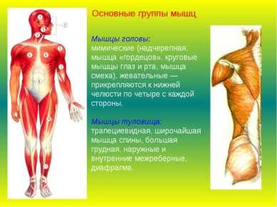 Мышцы головы: мимические (надчерепная, мышца «гордецов», круговые мышцы глаз ...