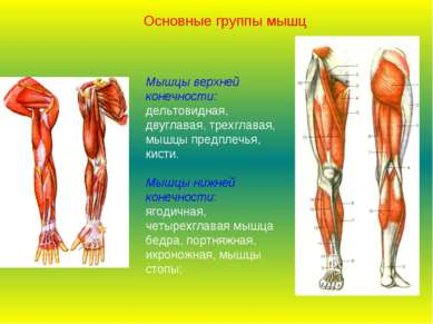 Мышцы верхней конечности: дельтовидная, двуглавая, трехглавая, мышцы предплеч...
