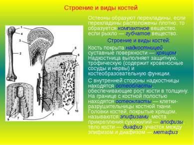 Строение и виды костей Остеоны образуют перекладины, если перекладины располо...