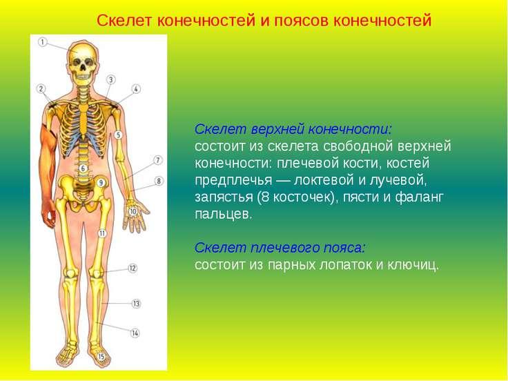 Скелет верхней конечности: состоит из скелета свободной верхней конечности: п...