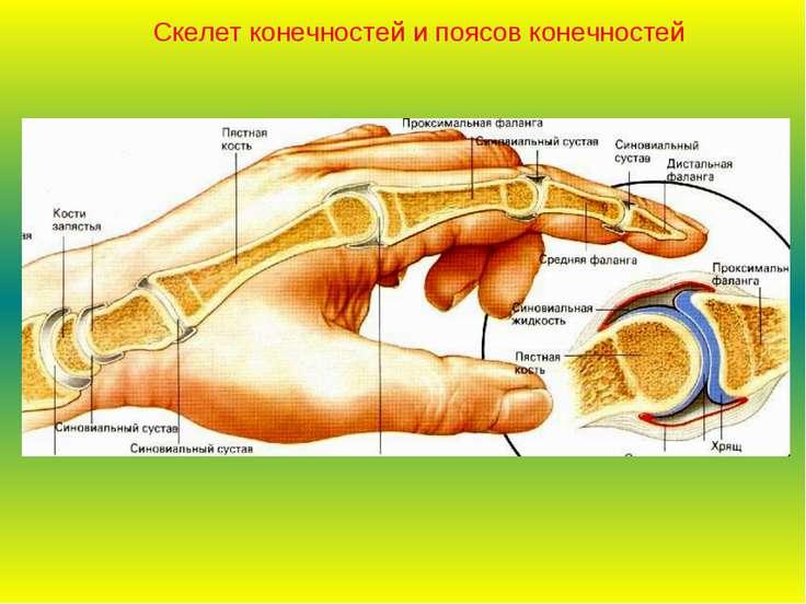 Скелет конечностей и поясов конечностей