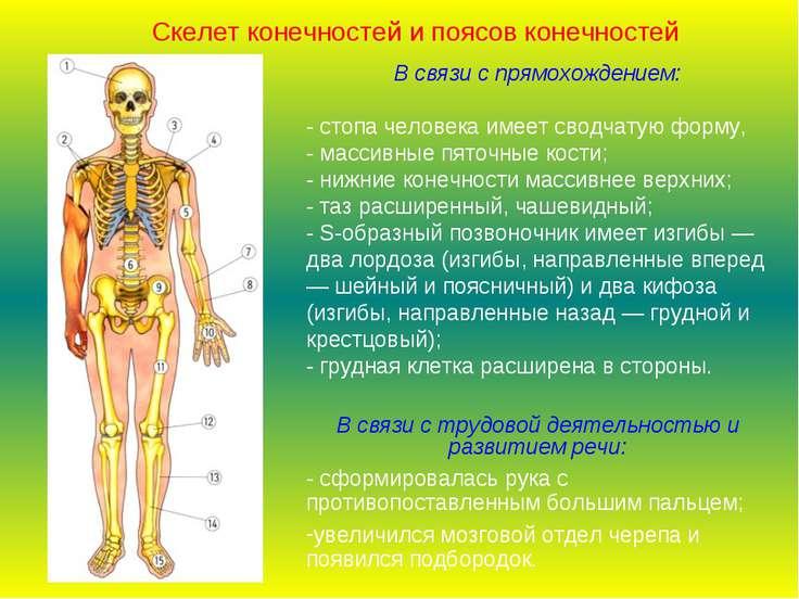 В связи с прямохождением: - стопа человека имеет сводчатую форму, - массивные...