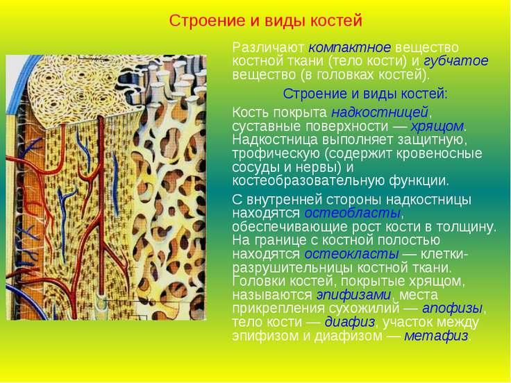 Строение и виды костей Различают компактное вещество костной ткани (тело кост...