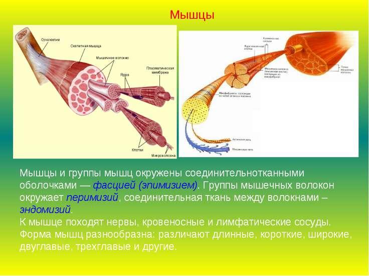 Мышцы и группы мышц окружены соединительнотканными оболочками — фасцией (эпим...