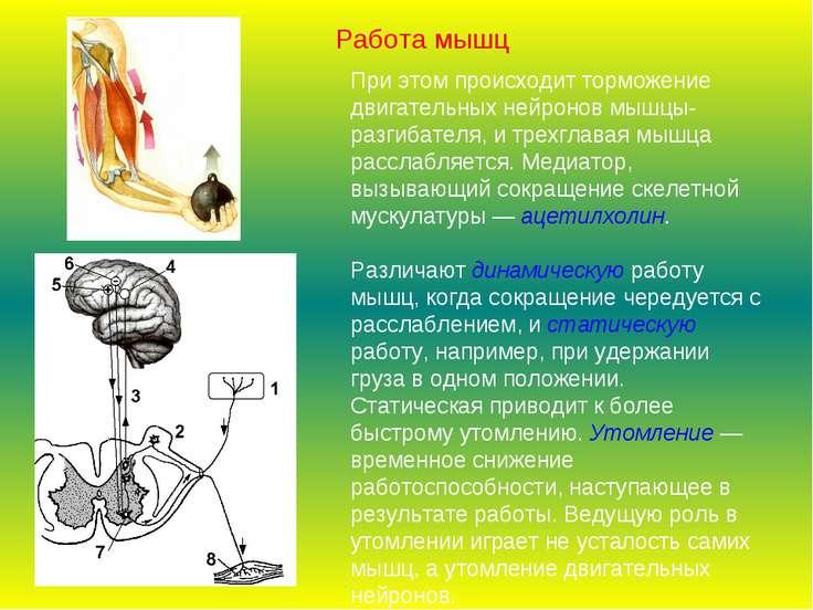 При этом происходит торможение двигательных нейронов мышцы-разгибателя, и тре...