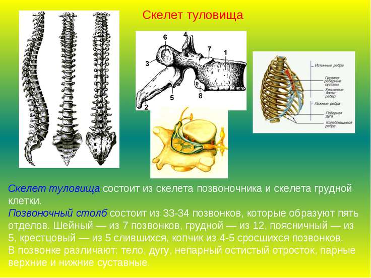 Скелет туловища состоит из скелета позвоночника и скелета грудной клетки. Поз...