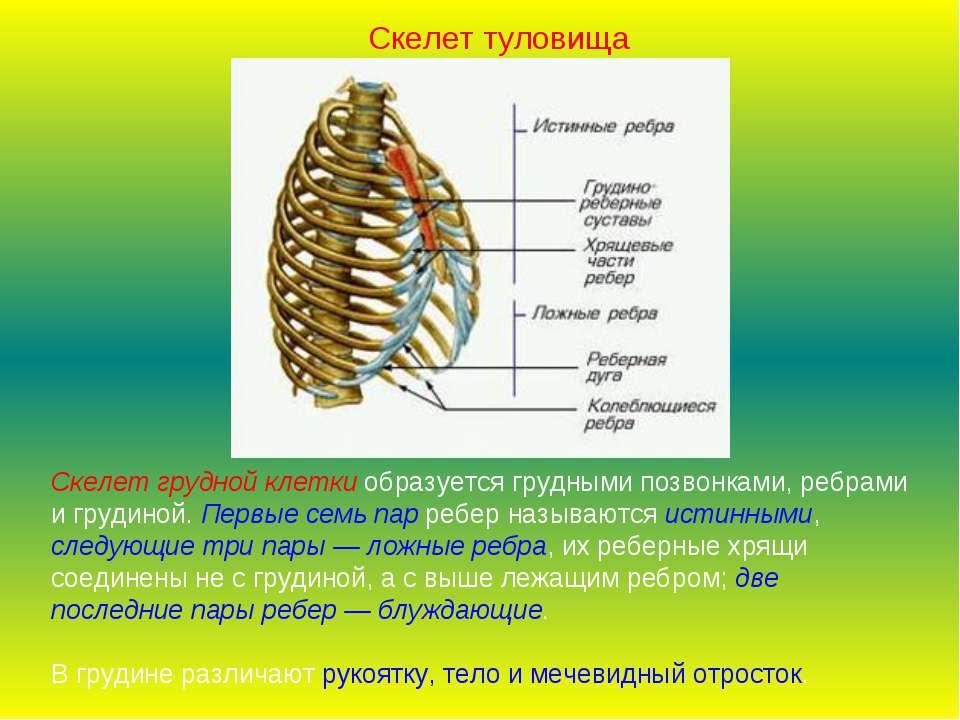 Скелет грудной клетки образуется грудными позвонками, ребрами и грудиной. Пер...