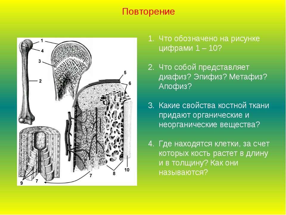 Что обозначено на рисунке цифрами 1 – 10? Что собой представляет диафиз? Эпиф...