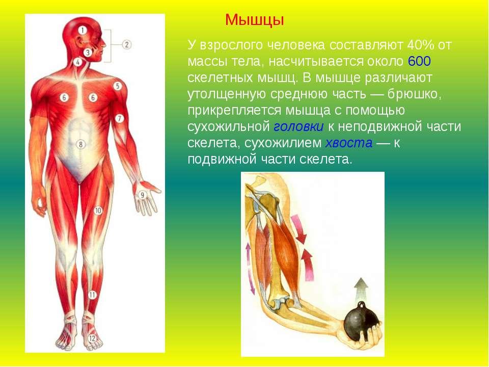 У взрослого человека составляют 40% от массы тела, насчитывается около 600 ск...