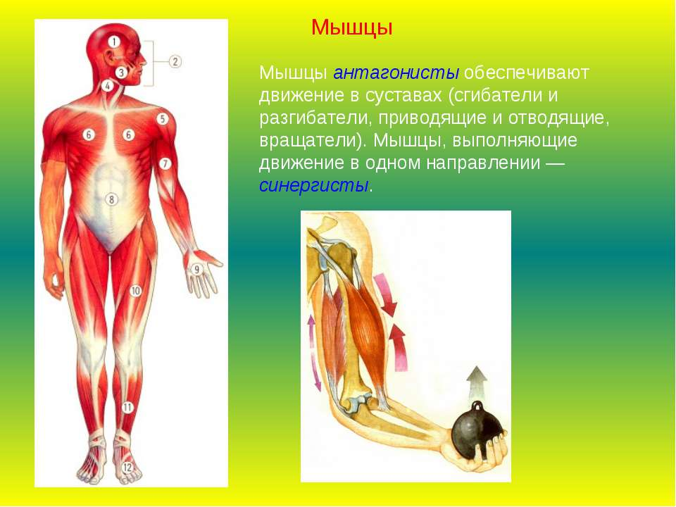 Мышцы антагонисты обеспечивают движение в суставах (сгибатели и разгибатели, ...
