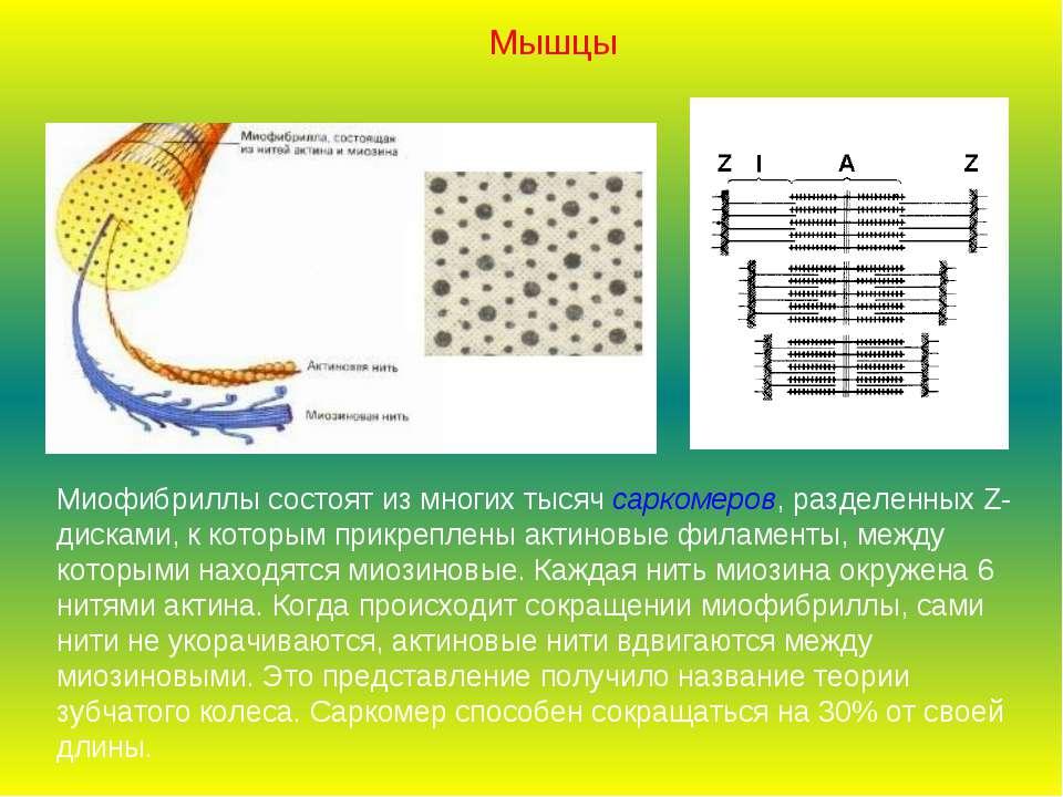 Миофибриллы состоят из многих тысяч саркомеров, разделенных Z-дисками, к кото...