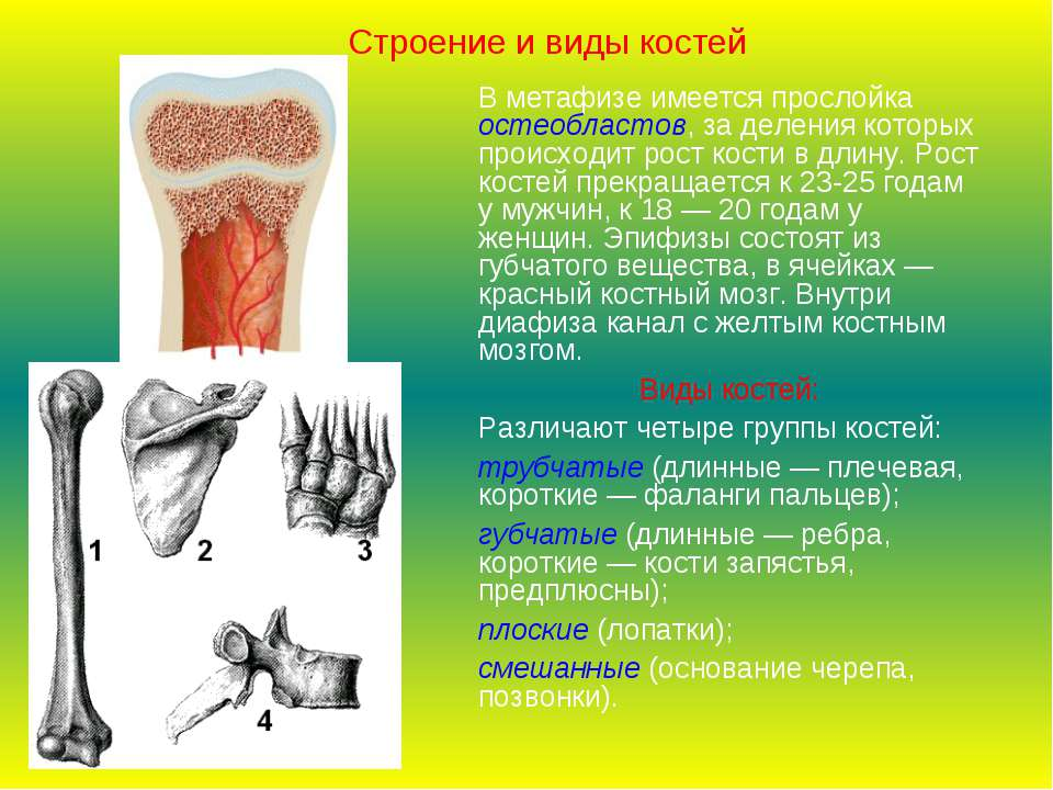 В метафизе имеется прослойка остеобластов, за деления которых происходит рост...