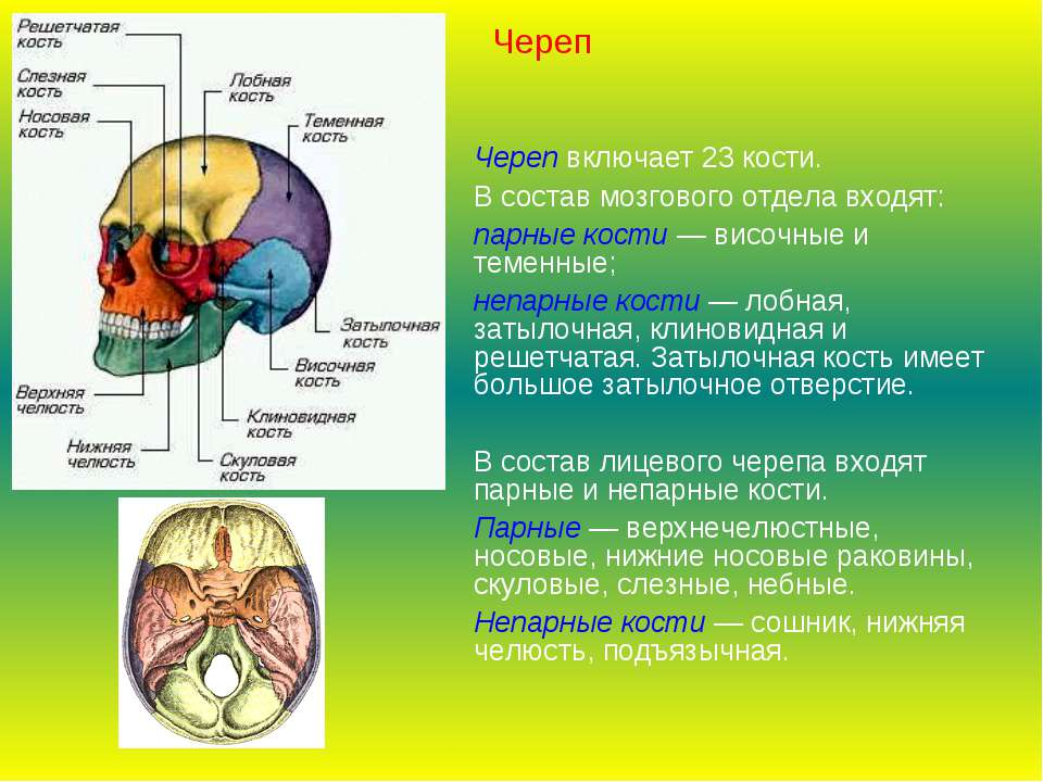 Череп включает 23 кости. В состав мозгового отдела входят: парные кости — вис...