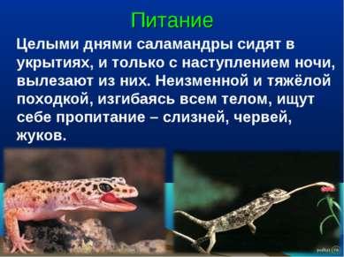 Питание Целыми днями саламандры сидят в укрытиях, и только с наступлением ноч...