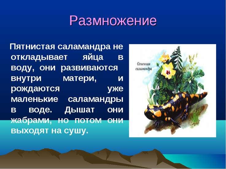 Размножение Пятнистая саламандра не откладывает яйца в воду, они развиваются ...