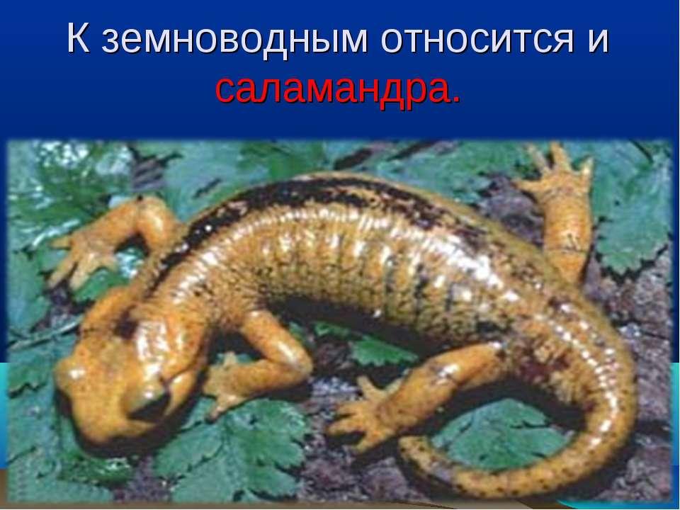 К земноводным относится и саламандра.