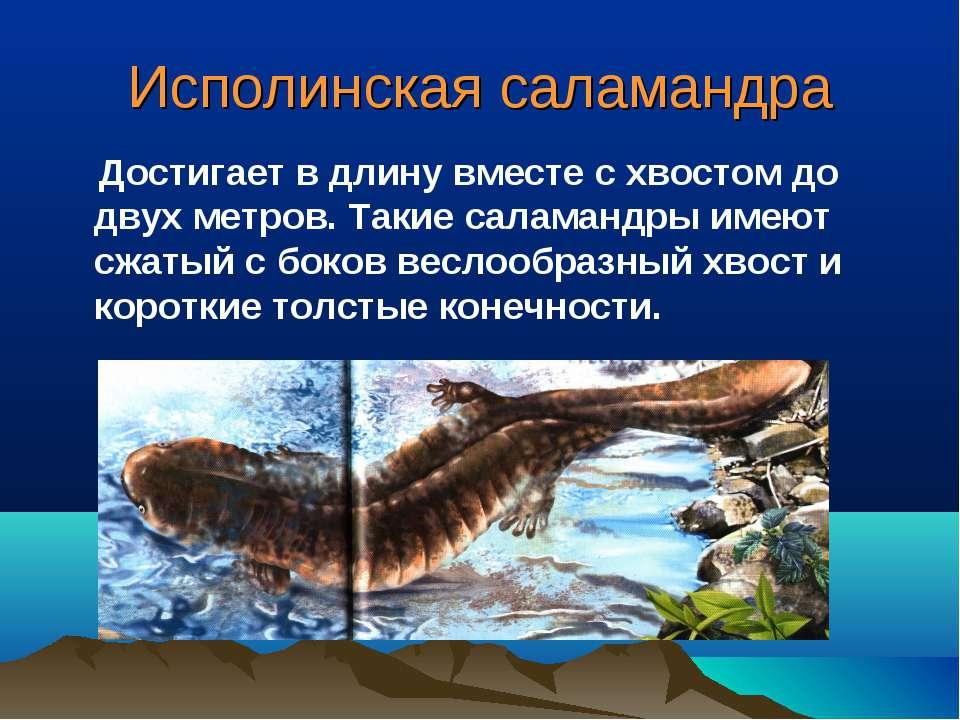 Исполинская саламандра Достигает в длину вместе с хвостом до двух метров. Так...