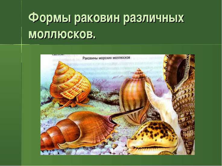 Формы раковин различных моллюсков.