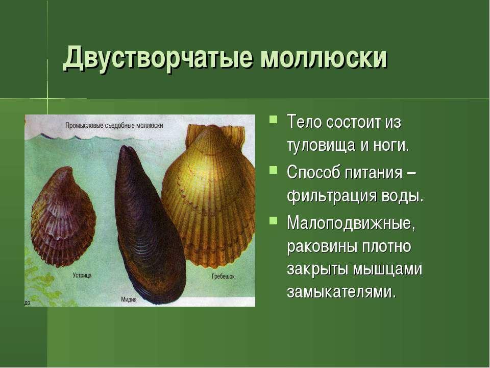 Двустворчатые моллюски Тело состоит из туловища и ноги. Способ питания – филь...