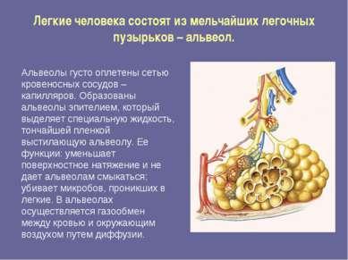 Легкие человека состоят из мельчайших легочных пузырьков – альвеол. Альвеолы ...