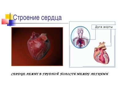 Строение сердца СЕРДЦЕ ЛЕЖИТ В ГРУДНОЙ ПОЛОСТИ МЕЖДУ ЛЕГКИМИ
