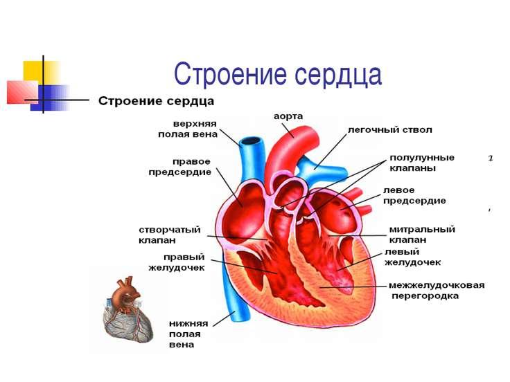Строение сердца Представляет собой полый мышечный орган, разделенный на четыр...