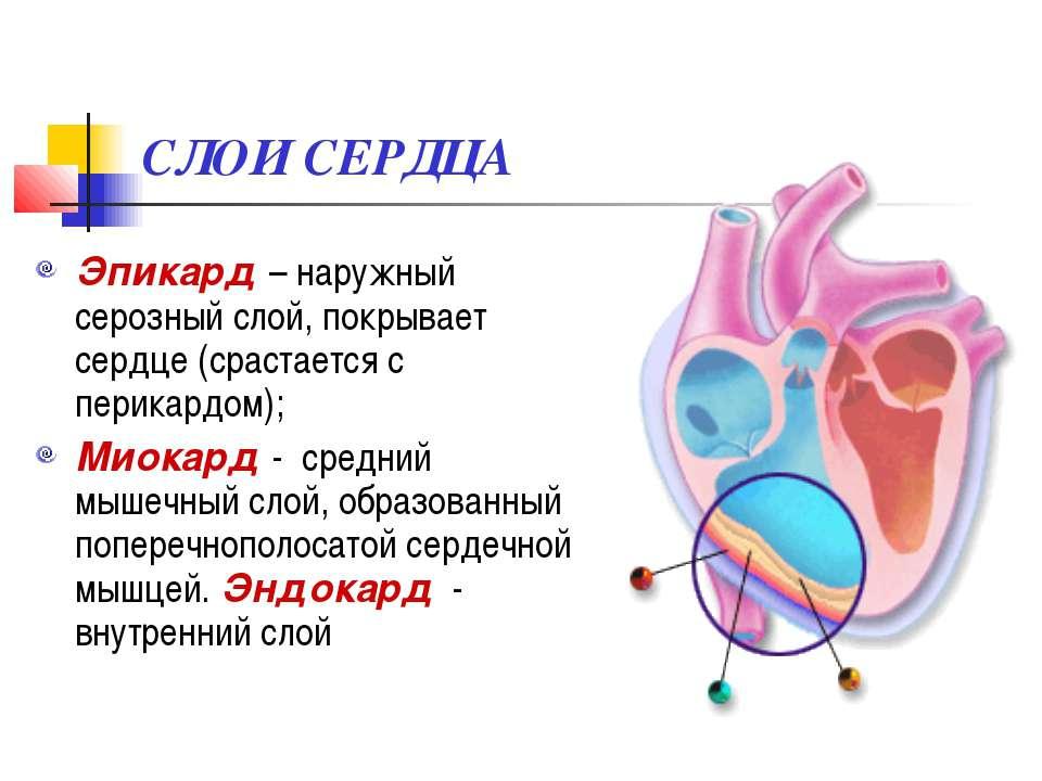 СЛОИ СЕРДЦА Эпикард – наружный серозный слой, покрывает сердце (срастается с ...