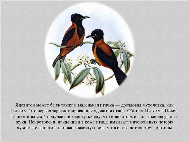 Ядовитой может быть также и маленькая птичка — дроздовая мухоловка, или Питох...