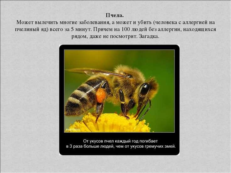 Пчела. Может вылечить многие заболевания, а может и убить (человека с аллерги...