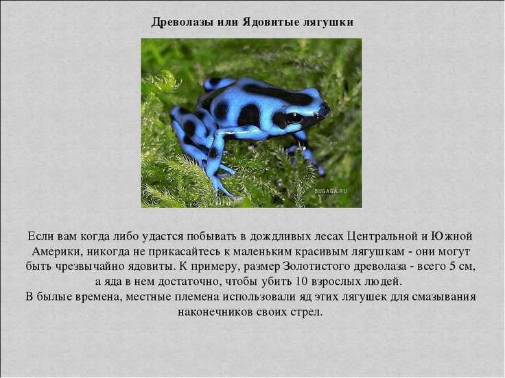 Древолазы или Ядовитые лягушки Если вам когда либо удастся побывать в дождлив...