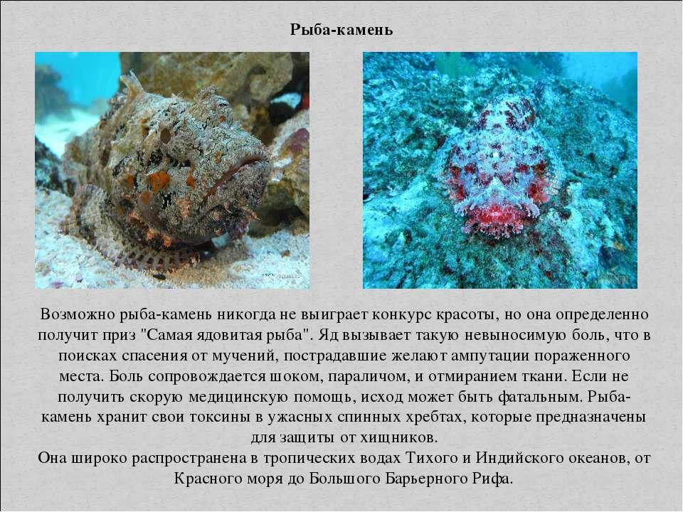 Рыба-камень Возможно рыба-камень никогда не выиграет конкурс красоты, но она ...