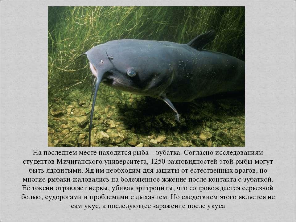 На последнем месте находится рыба – зубатка. Согласно исследованиям студентов...