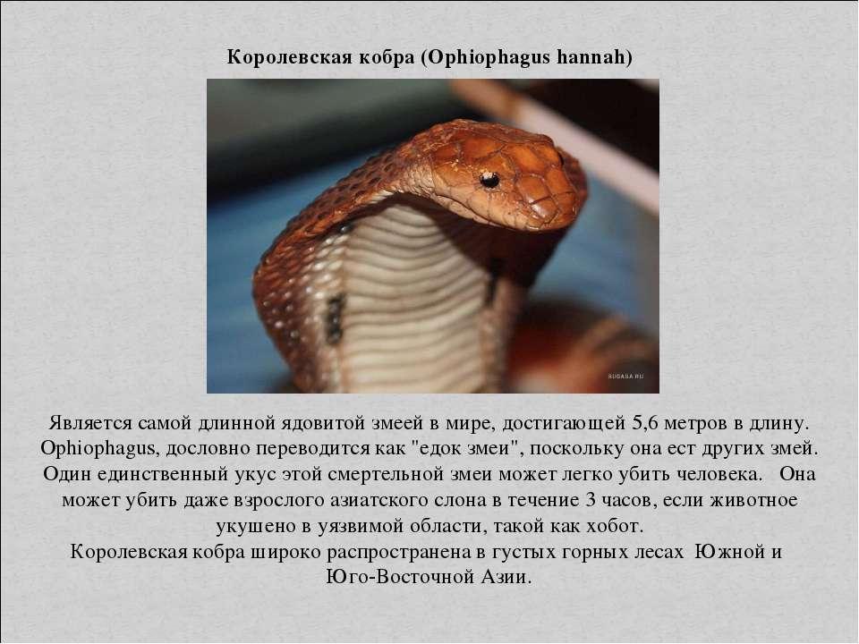Королевская кобра (Ophiophagus hannah) Является самой длинной ядовитой змеей ...