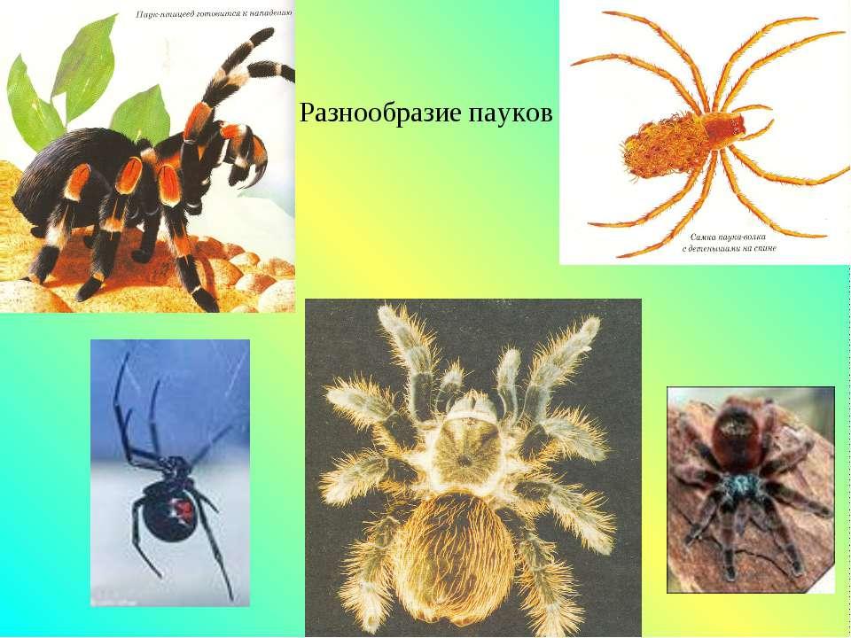 Разнообразие пауков