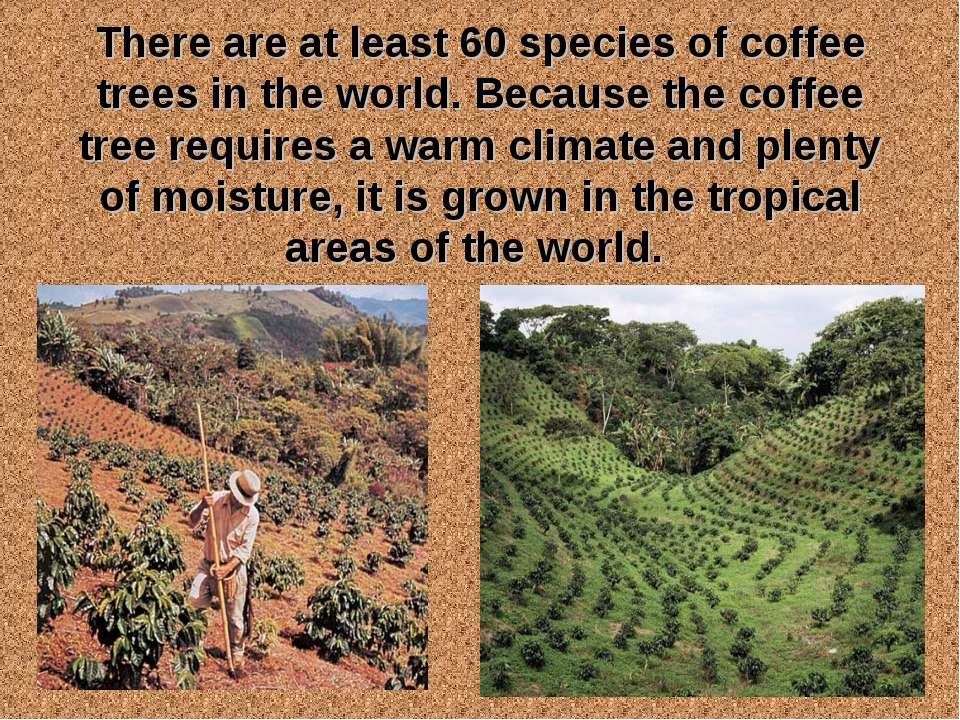 There are at least 60 species of coffee trees in the world. Because the coffe...