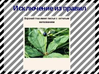 Исключение из правил Вороний глаз имеет листья с сетчатым жилкованием