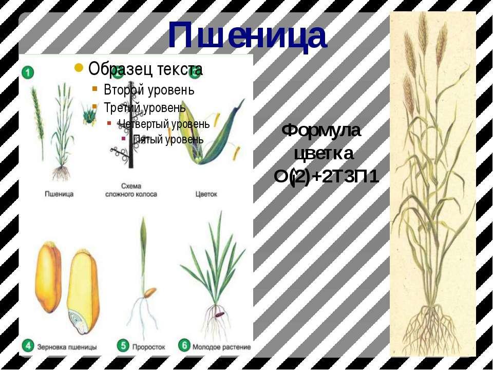 Пшеница Формула цветка О(2)+2Т3П1