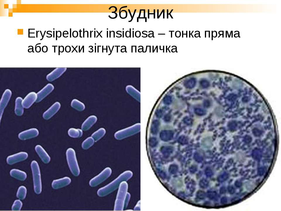 Збудник Erysipelothrix insidiosa – тонка пряма або трохи зігнута паличка