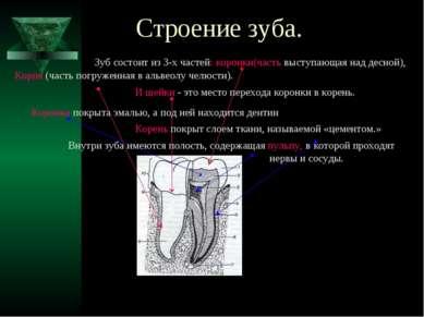 Строение зуба. Зуб состоит из 3-х частей: коронки(часть выступающая над десно...