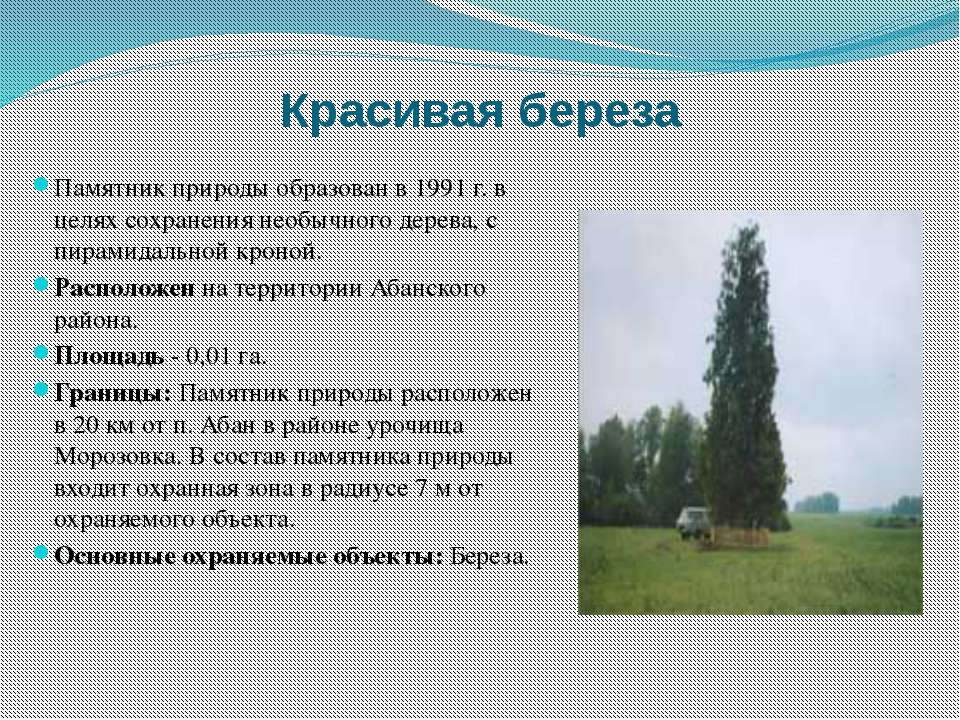Красивая береза Памятник природы образован в 1991 г. в целях сохранения необы...