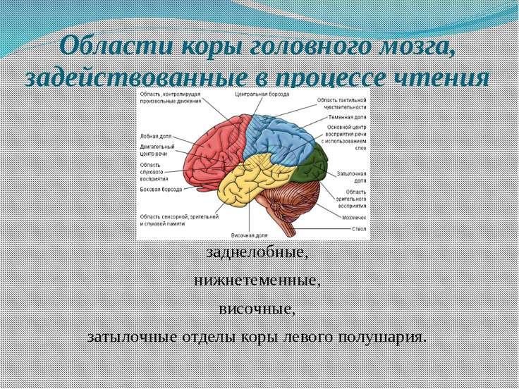 Области коры головного мозга, задействованные в процессе чтения заднелобные, ...