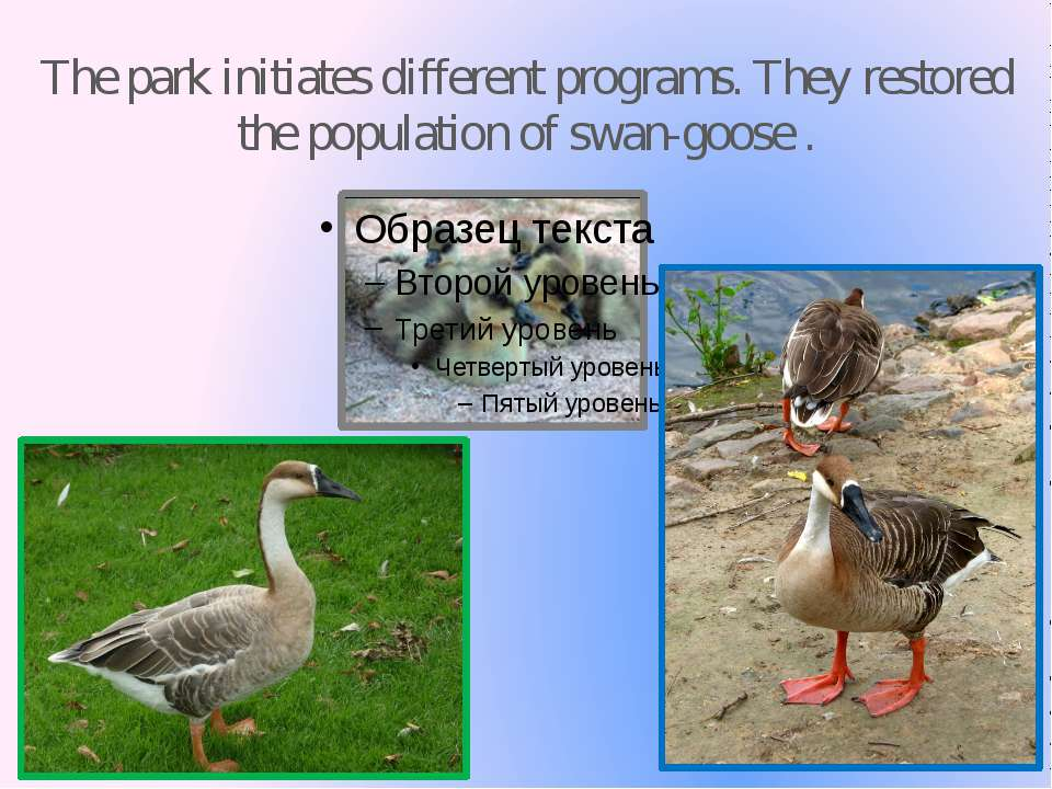 The park initiates different programs. They restored the population of swan-g...