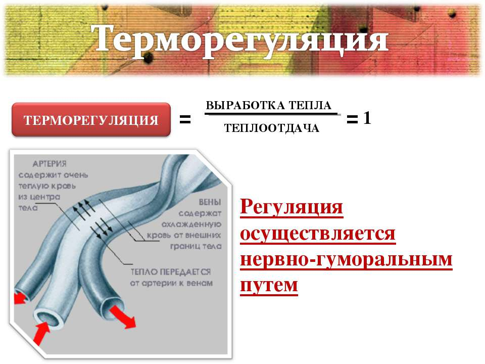 Регуляция осуществляется нервно-гуморальным путем = ВЫРАБОТКА ТЕПЛА ТЕПЛООТДА...