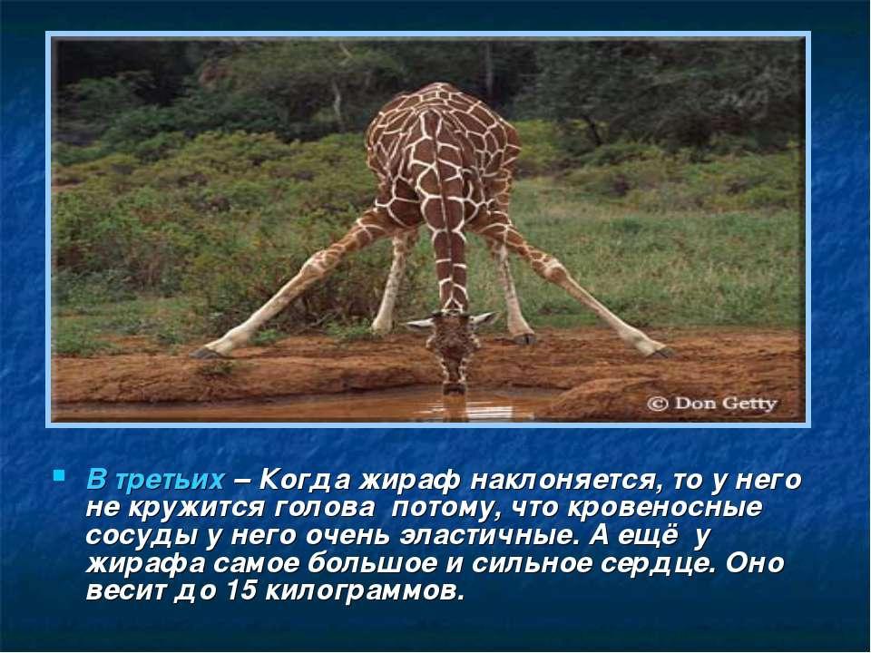 В третьих – Когда жираф наклоняется, то у него не кружится голова потому, что...
