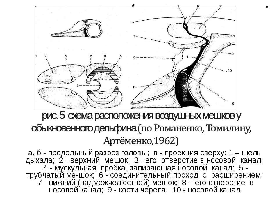 а, б - продольный разрез головы; в - проекция сверху: 1 – щель дыхала; 2 - ве...