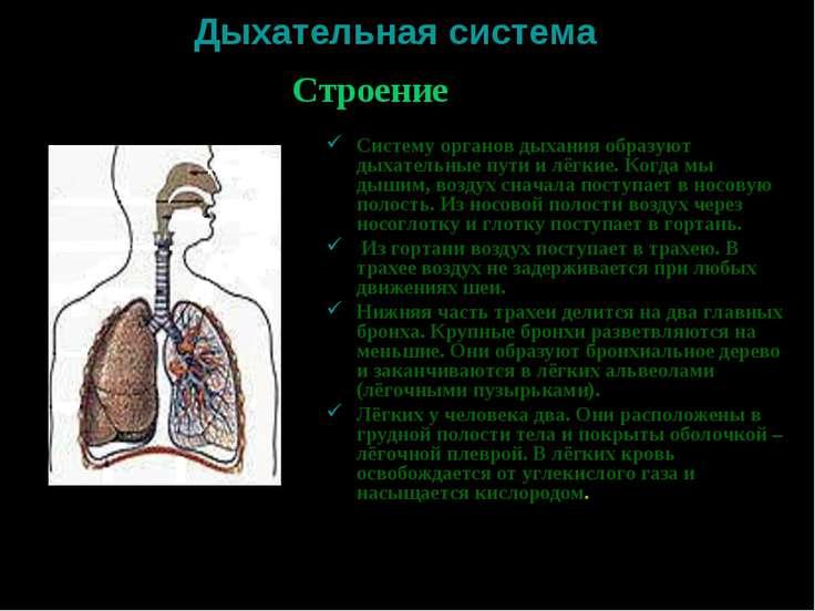 Дыхательная система Систему органов дыхания образуют дыхательные пути и лёгки...