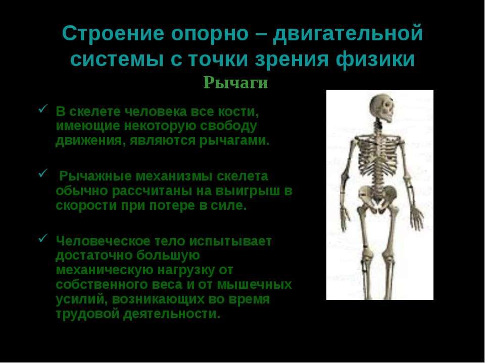 Строение опорно – двигательной системы с точки зрения физики В скелете челове...