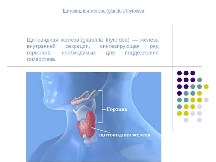 Щитовидная железа(glandula thyroidea) — железа внутренней секреции, синтезир...
