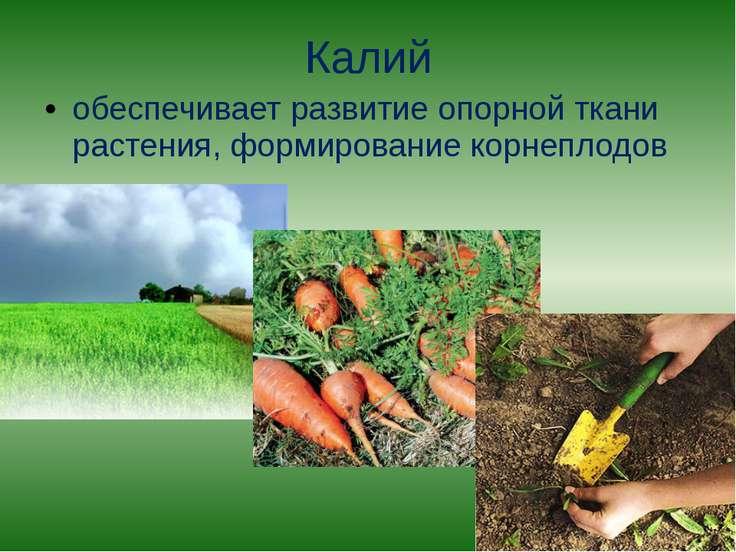 Калий обеспечивает развитие опорной ткани растения, формирование корнеплодов